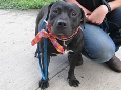 TO BE DESTROYED - 07/08/13 Brooklyn Center - P  My name is MILLS. My Animal ID # is A0970245. I am a female black and white pit bull mix. The shelter thinks I am about 2 YEARS old.  *** TO ADOPT THIS ANIMAL THROUGH THE PUBLIC ADOPTION SITE, PLEASE GO TO THE FOLLOWING LINK AND SCROLL DOWN TO BOTTOM TO LOG IN AND RESERVE THE ANIMAL. THERE WILL BE A $50 DEPOSIT REQUIRED.http://www.nycacc.org/PublicAtRisk.htm ***