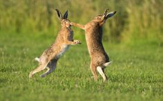 """allcreatures:  """" """" A female hare [right] uses her front paws to 'box' any unfortunate male that comes too close. It is only the most determined males who last the course and ultimately win rights to mate with the female.  """"  Picture: Andy Rouse / Rex..."""