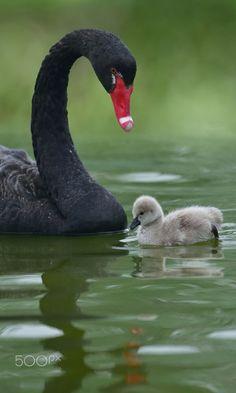 Beautiful Birds, Animals Beautiful, Baby Animals, Cute Animals, Swan Love, Mute Swan, Australian Birds, All Nature, Colorful Birds