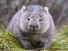Wombats are stout, sturdy marsupials native to Australia. Cute Wombat, Baby Wombat, Common Wombat, Funny Animals, Cute Animals, Australia Animals, Animal Activist, Interesting Animals, Animal Facts