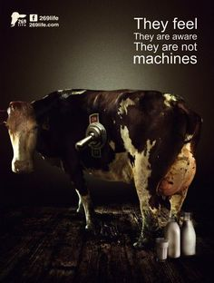 why vegan? the shame of the dairy industry: cows feel, they are aware and they are not milking machines