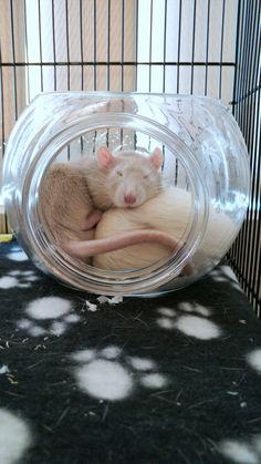 My two handsome boys :3 #aww #cute #rat #cuterats #ratsofpinterest #cuddle #fluffy #animals #pets #bestfriend #ittssofluffy #boopthesnoot