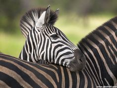 Wild Zebras In Africa Hd High Res Wallpaper For Puters Free Download