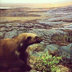 Wolverine - Hall of North American Mammals via @AMNH
