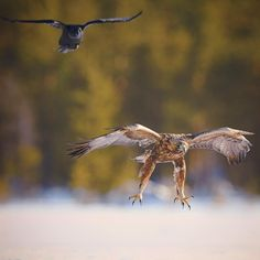 "Niko Pekonen (@npekonen) on Instagram: ""Golden eagle (aquila chrysaetos) and raven. Finland #WildGeography #GlobalDaily #bella_shots…"""