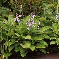 Recette de jardin N°15: L'Hosta Sum and Substance, des fleurs lila en cloches parfumées. Disponible sur Promesse de Fleurs: http://www.promessedefleurs.com/vivaces/vivaces-par-variete/hostas/hosta-sum-and-substance-p-2042.html #jardin #hosta #garden #plantes #plants #couvresols