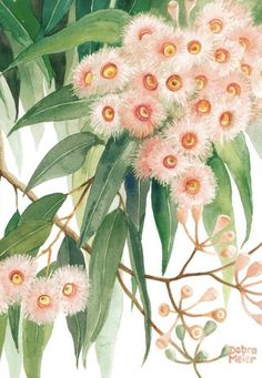 Ice Pink Gumblossoms Watercolour Art Print by Debra Meier Art - These delicate ice pink gumblossoms set against a background of dark green eucalyptus leaves will m - Australian Wildflowers, Australian Native Flowers, Australian Plants, Australian Bush, Australian Artists, Botanical Drawings, Botanical Art, Botanical Illustration, Watercolor Flowers