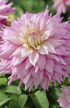 Pink Sir Alf Ramsey Organic Dahlia Mix