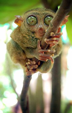 Philippine Tarsier (note: not a lemur... but also not a monkey... weird little primate that it is.)