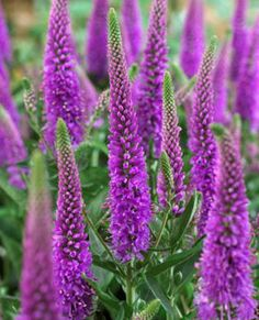 Veronica spicata Purpleicious, review at this link