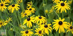 rudbeckie fulgida jaune Planters, Gardens, Big Flowers, Black Heart, Corner Garden, Perennial Plant, Unique Selling Proposition, Winter, Plant