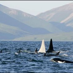 1st ever Albino killer whale spotter by Russian researchers in the wild. Nick named Iceberg, 6 foot long male Orcinus orca