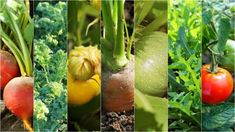 End Of Season Tomato Plant Care - Do Tomato Plants Die At The End Of Season Growing Herbs At Home, Growing Tomatoes Indoors, Growing Vegetables, Grow Tomatoes, Winter Vegetables, Organic Vegetables, Fall Plants, Shade Plants, Amaranth Plant