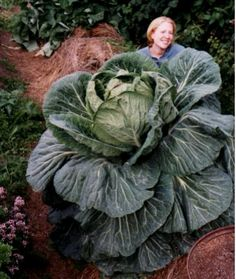 Giant  Vegetables-Giant Alaskan Vegetables