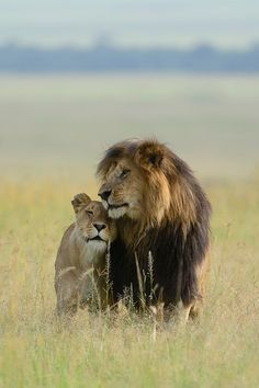Couple Lion, Big Cats, Cute Cats, Lion Tigre, Lion And Lioness, Lion Love, Black Lion, Lion Art, Animals Are Beautiful People