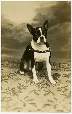 Vintage Boston Terrier portrait by Alan Mays