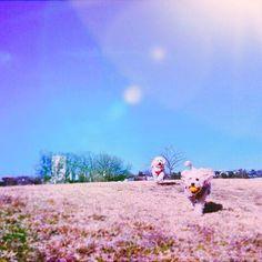 僕のほうが早いよ〜🙂♫ 老犬ホームクーシーは、老犬・要介護犬・飼育困難犬・繁殖引退犬・保護犬が余生を送る施設です🐕 #わんこ #犬 #dog #トイプードル  #溺愛 #愛情 #可愛い #わんこのいる生活  #わんこ🐶  #わんこらぶ  #わんこlove  #わんこと一緒  #dog💕  #dog🐶  #toypoodle  #といぷーどる #愛犬 #老犬 #笑顔 #dog🐾 #ドッグラン#おさんぽ #お散歩 #お散歩🐾 #老犬介護 #dogwalk  #阿須公園