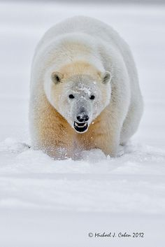polar bear | Tumblr