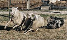 schapendoes dog photo | smiselna zaposlitev agility dog dancing poslušnost dog frisbee ...