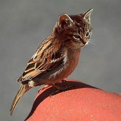 Catbird - Ha!  I'm so gullible; upon further checking, there are catbirds but they look nothing like this!