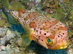 Balloonfish - Diodon holocanthus