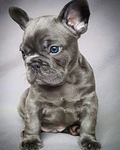 The major breeds of bulldogs are English bulldog, American bulldog, and French bulldog. The bulldog has a broad shoulder which matches with the head. Cute Puppies, Cute Dogs, Dogs And Puppies, Doggies, Frenchie Puppies, Baby Animals, Cute Animals, Funny Animals, French Bulldog Blue