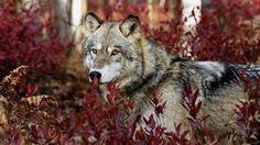 Imagini pentru wolf wallpaper