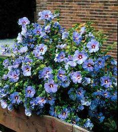 BLUEBIRD300.jpg 270×302 pixels