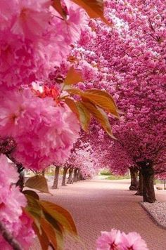 Gorgeous pink trees in bloom, apple blossom? Beautiful World, Beautiful Places, Beautiful Pictures, Wonderful Places, Beautiful Roads, It's Wonderful, Amazing Places, All Nature, Amazing Nature