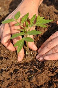 Sadzimy pomidory Green Garden, Gardening, Plants, Garten, Flora, Plant, Lawn And Garden, Planting, Horticulture