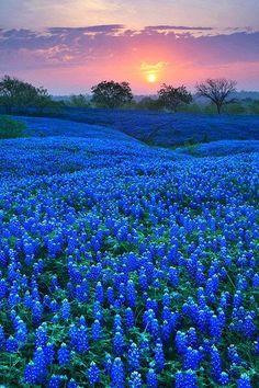 Texas Bluebonnet Fields -