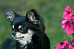 So adorable! - This looks like my chihuahua Daisy...my love, my heart...omg. smiles!!