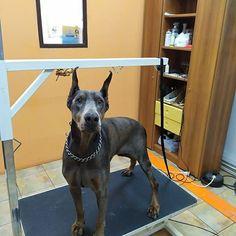 Υπέροχη η Μάρσυ! Επικοινωνήστε μαζί μας για ραντεβού και πληροφορίες σχετικά με τον καλλωπισμό των τετράποδων φίλων σας. -->www.petshop.gr<-- . . Follow us: @houseofpetsxatzopoulos . . #dog #dogs #grooming #dogspa #puppy #pet #pets #loveanimals #doglovers #cutedog #dogofthedy #dogofinstagram #lovedogs #lovepets #skilos #skylos #katoikidia #σκυλος #κατοικιδια #κουρεμα #καλλωπισμος #houseofpets #petshopgreece #petshop #pet_shop_gr Love Dogs, Animals, Animales, Animaux, Animal, Animais