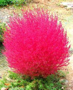 I think I need some of this in my garden too!  Kochia Scoparia  | KOCHIA SCOPARIA - LJETNI ČEMPRES