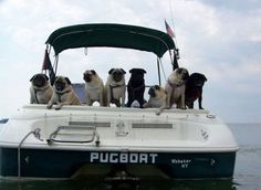 Pug boat - Awesome!