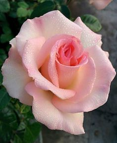 Beautiful Rose Flowers, Love Rose, Amazing Flowers, Beautiful Flowers, Lavender Roses, Purple Roses, Pink Flowers, Rose Pictures, Botanical Flowers