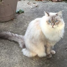 Maine Coon Siamese Cats Everything you need to know about how to adopt a cat, bringing your new cat home, cat health and care and more! Cool Pictures Of Animals, Cute Animals, Crazy Cat Lady, Crazy Cats, Siamese Cats, Cats And Kittens, All About Cats, Cat Health, Maine Coon