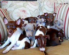 rat terrier puppies austin tx