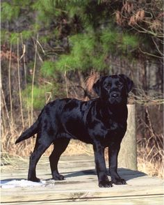 Black Labrador Retriever via Willowbrook Kennels, Maryland