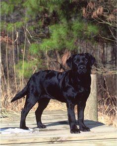 Black Labrador Retriever via Willowbrook Kennels, Maryland