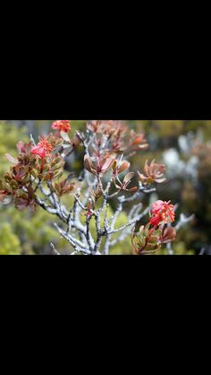 Look at this I believe is native a  plant I shot on Mt Barrow
