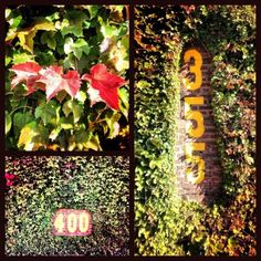 field pic, wrigley field ivy, field ivi, fall color