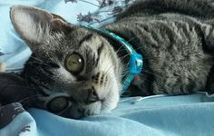 Saphira my tabby gray kitty cat at 5 months and 4.8 pounds. Now her eyes are green with a yellow ring...