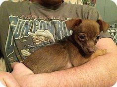 Trenton, NJ - Chihuahua/Miniature Pinscher Mix. Meet Niklaus, a puppy for adoption. http://www.adoptapet.com/pet/12287636-trenton-new-jersey-chihuahua-mix