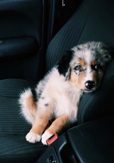 Best Images dogs and puppies austrailian shepard Thoughts Accomplish you're keen on your canine? Of course, people do. Good doggy proper care as well as coaching wil Cute Baby Dogs, Cute Dogs And Puppies, Pet Dogs, Dog Cat, Doggies, Cute Pets, Funny Pets, Aussie Puppies, Bulldog Puppies
