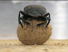 A dung beetle (Scarabaeus nigroaeneus) in South Africa uses celestial cues to ensure it keeps going in a straight line away from the dung pile.
