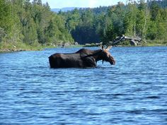 A moose passes through Pierce Pond in Maine. South Portland's City Council this week showed that local communities can band together in powerful ways to stand up for themselves and their wildlife. Photo credit: Flickr user Michael Lepore.
