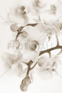 Orchidee - Sepia - Wall Mural & Photo Wallpaper - Photowall