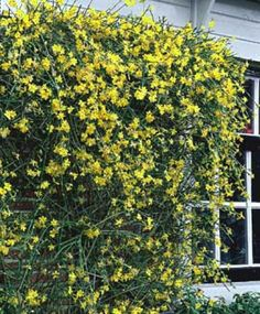 En hel del af vore haveplanter sætter blomst i de kolde vintermåneder          Lad...