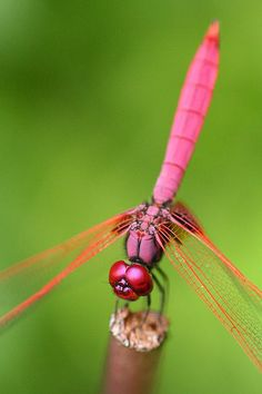 Crimson Dropwing Dragonfly (Trithemis aurora), though these are the males of the…